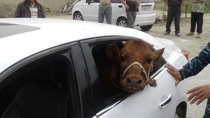 Sapi Ini Diangkut Dengan Mobil Mewah Oleh Pencuri, Polisi Terkejut Saat Menemukannya