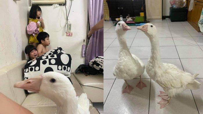 Ibu Ini Lepaskan Bebek Angsa di Dalam Rumah untuk Awasi Tiga Anaknya Agar Tak Keluyuran