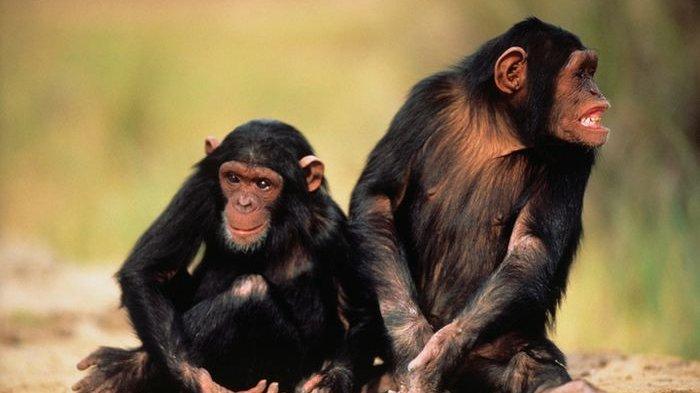 Simpanse Kehilangan Budaya Kompleks dan Perilaku Sosial Karena Habitat Dirusak Manusia