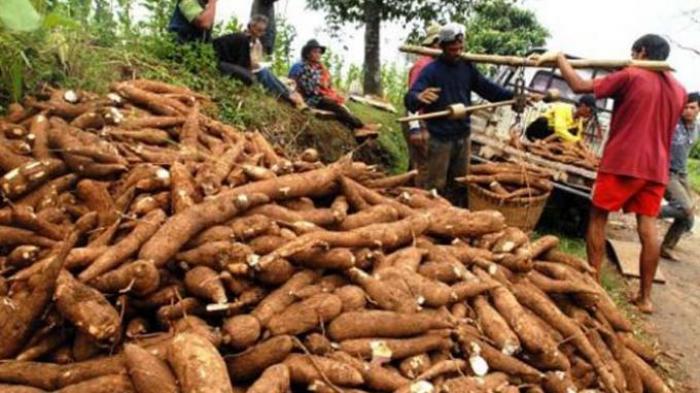 Makanan Paling Berbahaya di Dunia, Singkong Mentah Mengandung Sianida yang Dapat Membunuh Manusia