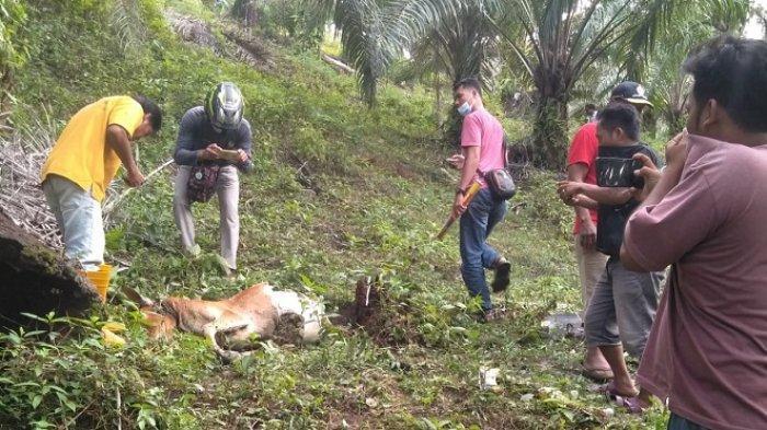 SISA bangkai ternak sapi warga yang diterkam Harimau Sumatera, Sabtu (21/11/2020) di Desa Lae Motong, Kecamatan Penanggalan, Kota Subulussalam.