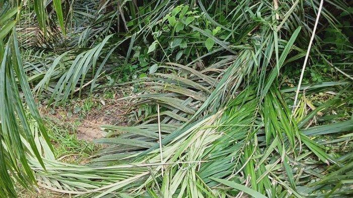 Kawanan Gajah Liar Rusak Kebun Sawit Warga, KSM Suplai Mercon & Desak Realisasi Power Fencing