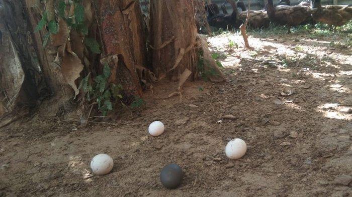 Hanya sekitar lima bebek yang produkitf menghasilkan telur dalam beberapa hari belakangan ini. Inilah lokasi telur bebek tersebut ditemukan.