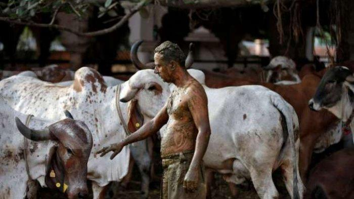 Warga India Pakai 'Ek dan Iek Lumo' Untuk Lawan Covid-19, Setelah Kering Peluk Sapi, Dokter Khawatir
