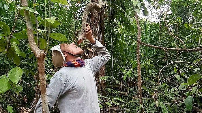 Heboh Kayu Bajakah di Rawa Singkil, Dinkes Koordinasi dengan Balai BPOM untuk Penelitan