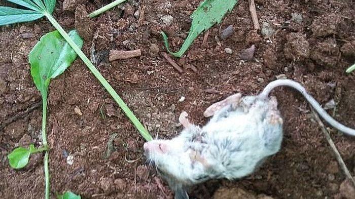 Tak Sengaja Makan Ganja hingga Kecanduan Parah, Tikus Ini Harus Direhabilitasi 6 Hari, Ini Fotonya