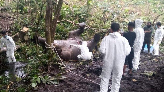 Ternyata, Ada Anak Gajah Dalam Perut Gajah Betina Mati di Bener Meriah, Hasil Otopsi BKSDA Aceh