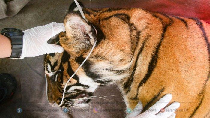 FOTO - Corina, Harimau Sumatera Yang Terjerat Saat Dunia Sedang Dilanda Corona - tim-dokter-hewan-memeriksa-kesehatan-seekor-harimau-sumatera-1.jpg