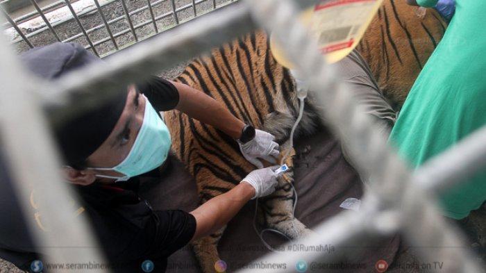 FOTO - Corina, Harimau Sumatera Yang Terjerat Saat Dunia Sedang Dilanda Corona - tim-dokter-hewan-memeriksa-kesehatan-seekor-harimau-sumatera.jpg