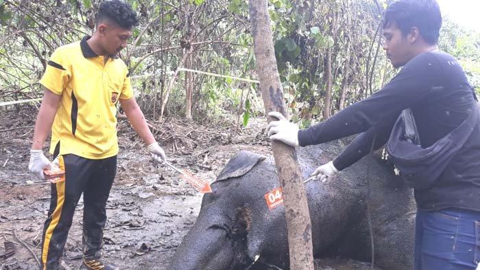 BKSDA: Gajah Mati Diduga Karena Racun