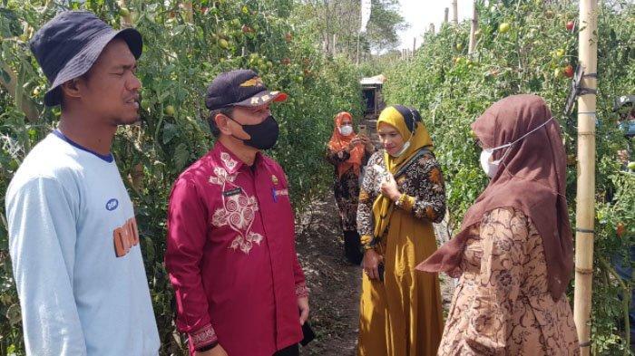 Dinas Pangan Aceh Siap Bantu Dana Transportasi Penjualan Tomat yang Anjlok di Bener Meriah