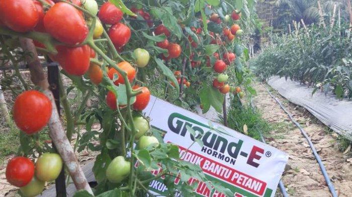 Tanaman tomat petani di Aceh Utara yang menggunakan Ground-E kini sudah mula bisa dipanen.
