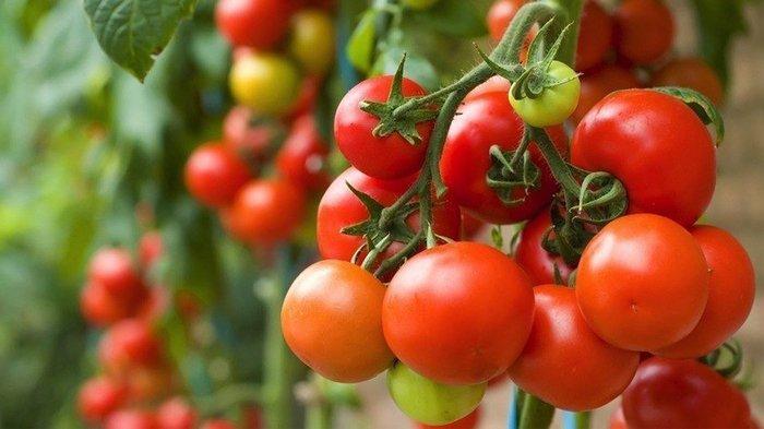 5 Cara Menanam Tomat Agar Berbuah Lebat, Tanam Tidak Terlalu Rapat hingga Atur Pencahayaan