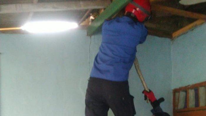 Pemilik Rumah Kaget Lihat Ular Sanca Batik Melilit Kayu Plafon Hingga Ada Material Jatuh