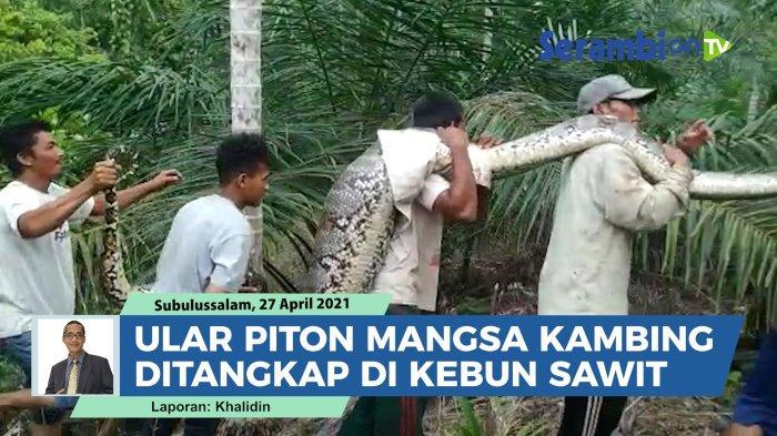 Sejumlah warga di Desa Gunung Bakti, Kecamatan Sultan Daulat Kota Subulussalam berhasil menangkap seekor ular piton sepanjang 7 meter.   Ular piton raksasa itu ditangkap pada Selasa (27/4/2021) siang di kawasan kebun kelapa sawit setelah memangsa seekor kambing.