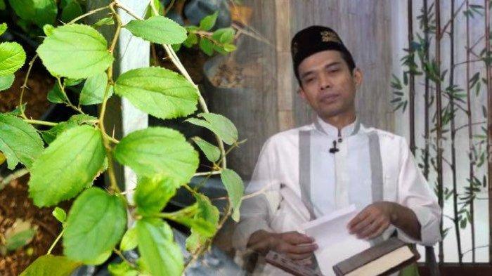 Begini Penjelasan Ustaz Abdul Somad Soal Manfaat Daun Bidara, Lengkap dengan Cara Mengolahnya