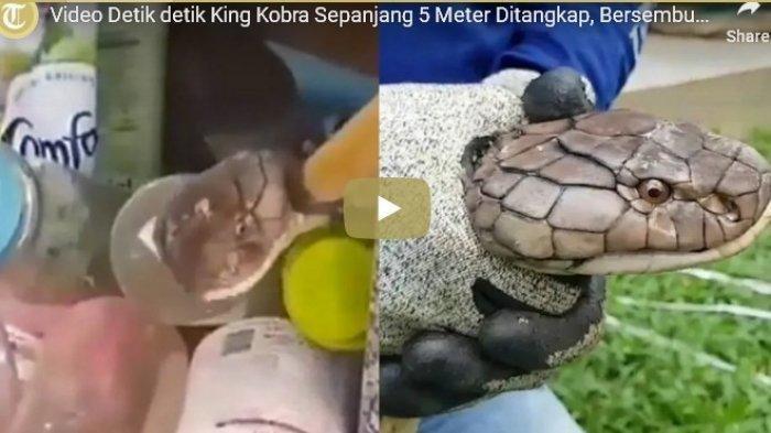 Detik-detik King Kobra Sepanjang 5 Meter Ditangkap, Bersembunyi di Rak Dapur Restoran, Ini Videonya