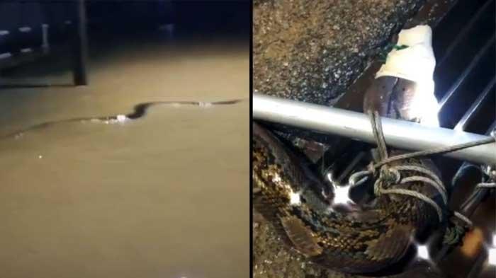 Ular Piton Besar Muncul di Tengah Banjir Malaysia, Meliuk-liuk di Atas Air sebelum Ditangkap Warga