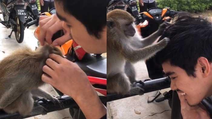 VIRAL Kedekatan Manusia dengan Monyet Saling Mencari Kutu Rambut, Saling Tundukkan Kepala