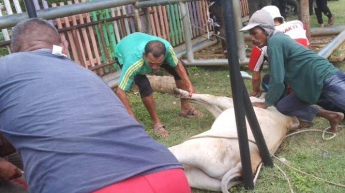 Puluhan Ekor Hewan Kurban Disembelih di Bireuen