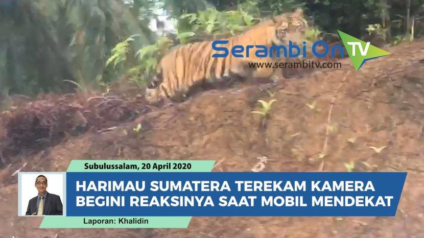 harimau-sumatera-terekam-kamera-begini-reaksinya-saat-mobil-mendekat.jpg
