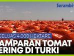 4000-hektar-hamparan-tomat-kering-ciptakan-pemandangan-menakjubkan.jpg