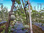 agrowisata-melon-2.jpg