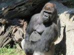 amukan-gorila-sebabkan-penjaga-kebun-binatang-patah-lengan-padahal-dibesarkan-dari-lahir.jpg