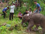 anak-gajah-di-geumpang_20180502_154850.jpg