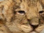 anak-singa-ini-menuntun-penjaga-menemukan-bangkai-ibunya-di-sebuah-bukit_20180113_220142.jpg