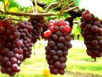 anggur-merah_20160809_204854.jpg