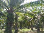 areal-perkebunan-kelapa-sawit-milik-warga.jpg