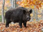 babi-hutan_20180315_232341.jpg