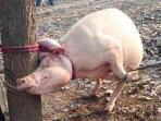 balita-tewas-dimanakan-babi.jpg