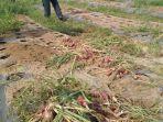 bawang-merah-yang-dibudidayakan-petani-ketapang-indah-singkil-utara-aceh-singkil.jpg