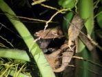 beruang-berada-di-pohon-kelapa-dekat-rumah-penduduk.jpg