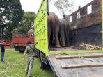 bksda-aceh-mendatangkan-sebanyak-4-ekor-gajah-jinak-ke-cru-das-peusangan.jpg