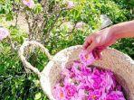 bunga-mawar-di-kota-taif-arab-saudi.jpg