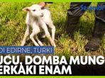 domba-berkaki-enam-lahir-di-turki.jpg