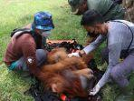 evakuasi-orangutan-nagan-raya.jpg