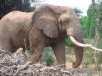 gajah-di-kenya.jpg