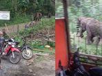 gajah-kejar-warga-pidie_20181104_212152.jpg