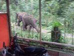 gajah-kejar-warga-pidie_20181104_212346.jpg