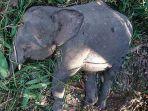 gajah-kerdil-ditembak-mati-setelah-menghancurkan-tanaman-penduduk_20180726_195612.jpg