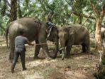 gajah-liar-ditangkap-di-subulussalam.jpg
