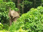 gajah-liar-masih-bertahan-di-kebun-warga-di-kecamatan-keumala-pidie.jpg