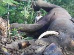 gajah-mati-di-pidie-september-2020.jpg