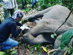 gajah-terjerat-baja.jpg