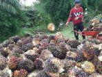 harga-kelapa-sawit-di-abdya-membaik-capai-rp-1500-per-kg.jpg