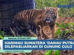 harimau-sumatera-danau-putra-dilepasliarkan-di-gunung-gulo.jpg